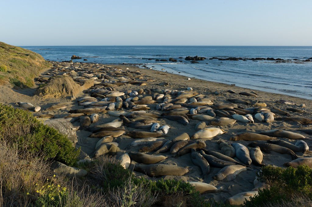 Elephant Seals on Pacific Coast Highway